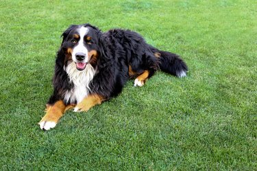 Happy family smiling bernese mountain dog lying on green grass with copy space
