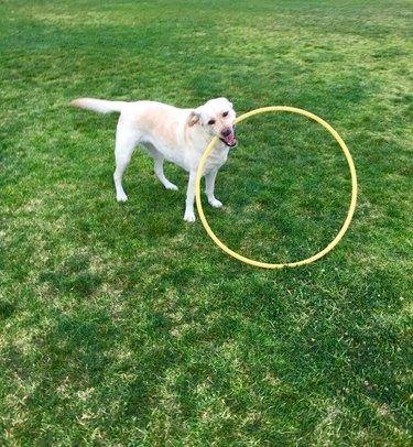 Hula Hoop Labrador