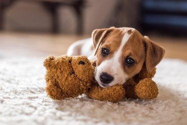 A puppy holding a small stuffed bear in its mouth