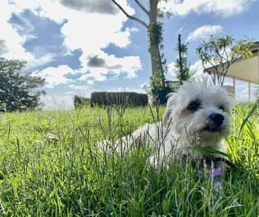 White Small Travel Lap Dog in Lush Green Grass Country Nature