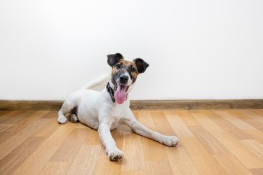 Cute and funny smooth fox terrier puppy lays on the floor