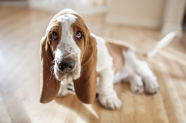 Adorable Basset Hound puppy sits with cute expression in pretty light