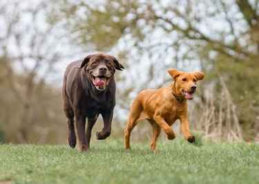 Two dogs happily running.