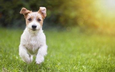 Happy pet dog puppy running in the grass