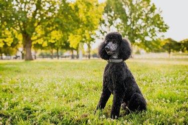 Standard poodle sitting on grassy field