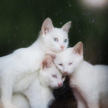 Turkish Kittens