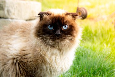 Beautiful cat with blue eyes. Cat on the green grass.