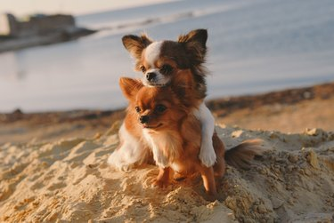 cute dog family concept mother chihuahua embrace her happy puppy with love and care on sand summer ocean coast