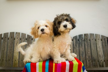 Two Cavachon puppies sitting on a garden table