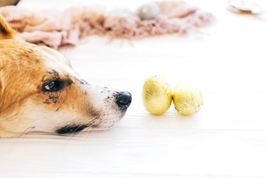 Cute dog lying at stylish easter chocolate eggs in golden foil on white wooden background and looking with cute eyes. Modern easter eggs. Happy Easter. Space for text.