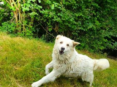 A big cheerful Great Pyrenees dog runs .