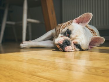 French Bulldog resting on the floor on a hot summer day. Surface level view.