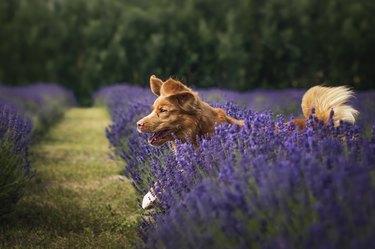 Nova Scotia Duck Tolling Retriever running through lavender field,Poland