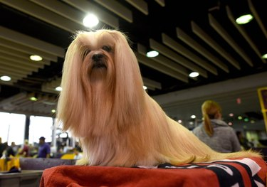 A Lhasa apso at the Westminster Dog Show.