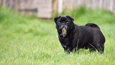 Portrait Of Black Pug Eating Grass
