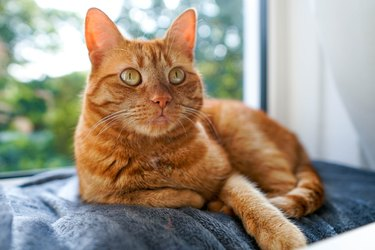 Orange Cat Lying On A Grey Plaid