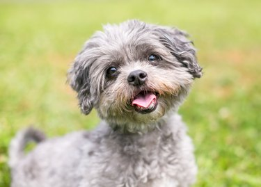 A happy Shih Tzu x Poodle mixed breed dog outdoors