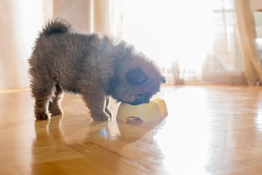 Chow puppy eating from animal food bowl.