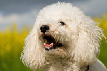 a head portrait of a white small poodle