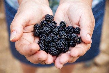 A lady's hand full of wild blackberries