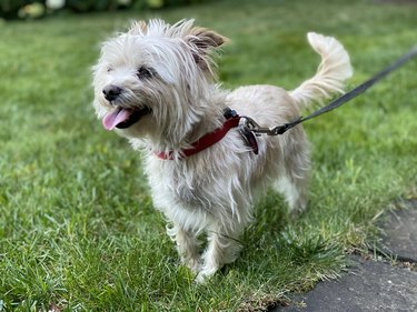 A small white dog out for a walk on a leash in grass