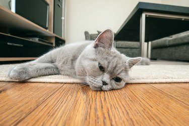 Close-up of gray cat lying on wooden floor