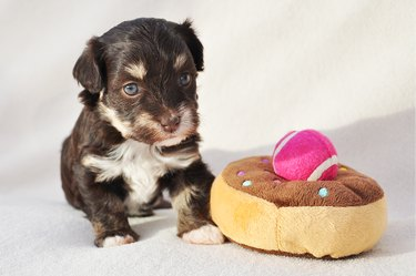 Four weeks old chocolate tricolour havanese pup with doughnut toy