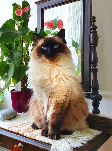 Portrait of a beautiful fluffy longhair ragdoll cat with deep blue eyes, sitting and looking into the camera.