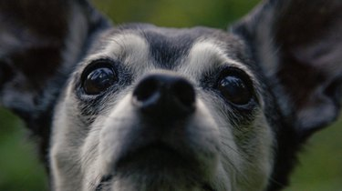 close up of cute aging black and gray dog observing the dark woods.
