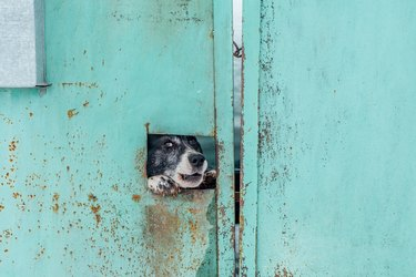 Barking dog looking through hole in iron fence