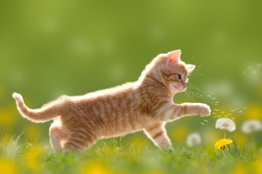 Young cat plays with dandelion in Back light