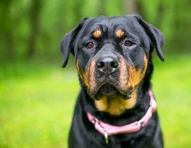 A Rottweiler dog wearing a pink collar