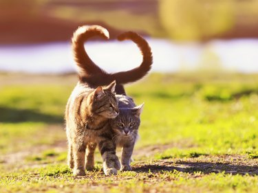 two beautiful young cats walk in a Sunny meadow on a clear spring day raising their tails and wrapping them in the shape of a heart