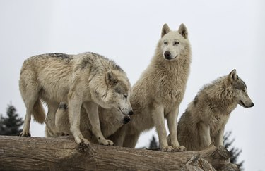A pack of wolves on a fallen tree