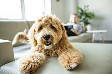 Woman with golden Labradoodle dog reading on couch at home