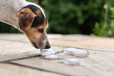 cute small dog eating ice cubes outside