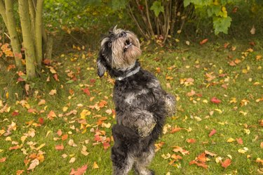 Charming Schnauzer playing on the lawn