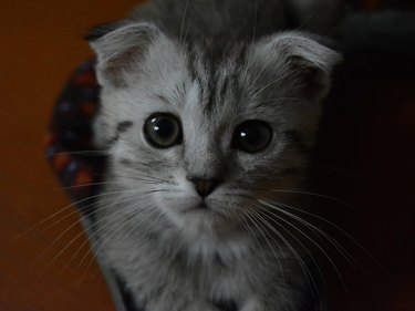 Scottish-fold kitten