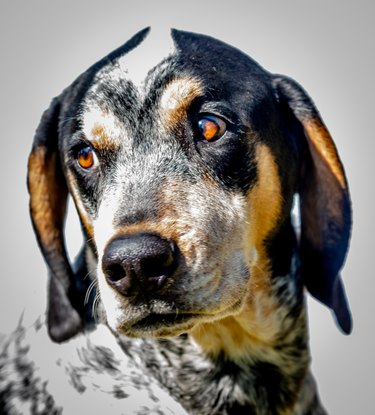bluetick coonhound dog looking to the side