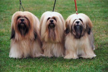 Three brown Lhasa apsos in a row on green grass