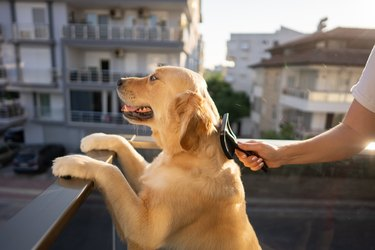 Woman combing her cute dog outside on balcony
