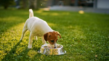 Small terrier eating from a food bowl outside on grass