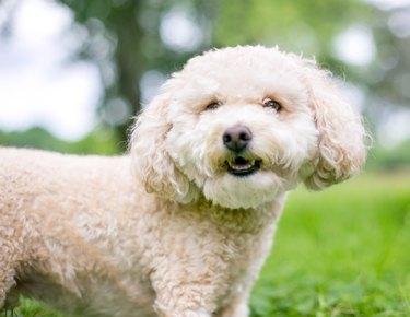 A cute Miniature Poodle dog outdoors