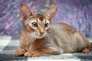 Very beautiful Abyssinian cat, kitten on the background of a lavender field