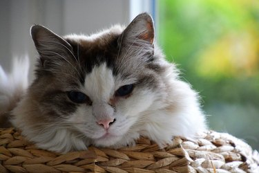 Ragdoll Cat 's portrait France