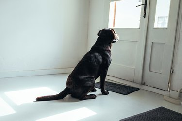 black dog waiting by the door
