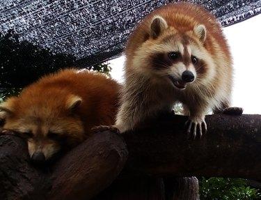 Red brown raccoon sleep and roar at the tree
