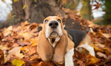Portrait of basset hound in autumn leaves
