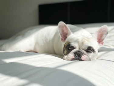 French Bulldog lying comfortably in bed