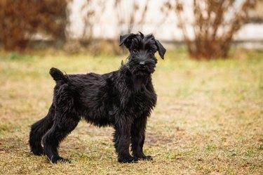 Black puppy of Giant Schnauzer dog